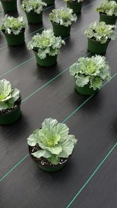 "8"" Kale/Cabbage"