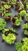 """12"""" Lettuce"""