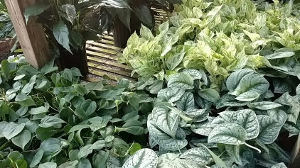 "6"" Foliage"