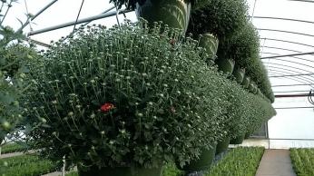"10"" Garden Mum HB"