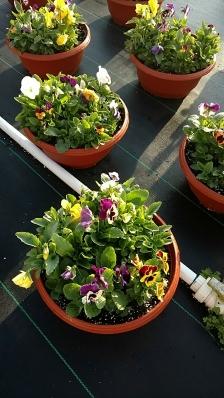 Pansy/Viola Bowl