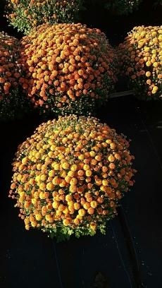 Izola Orange Garden Mum