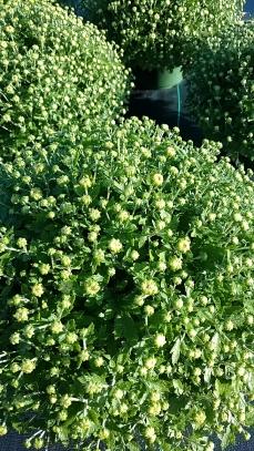 Dark Veria Yellow Garden Mum