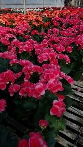 Rieger Begonia