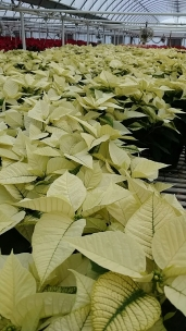 "7.5"" White Poinsettias"