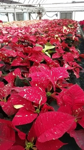"7.5"" Red Glitter Poinsettias"