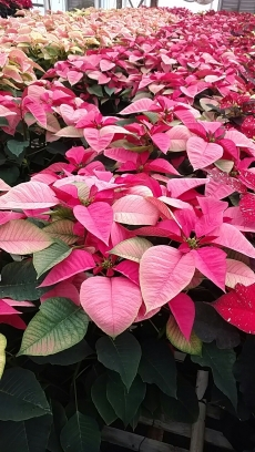 "7.5"" Pink Poinsettias"