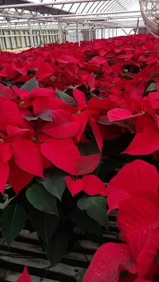 "7.5"" Red Poinsettias"