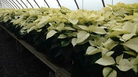 "8.5"" White Poinsettias"