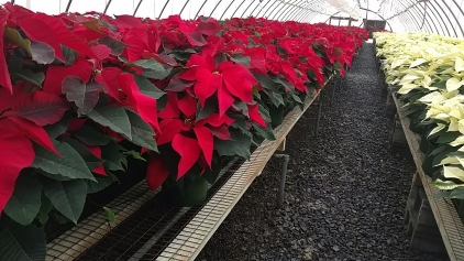 "8.5"" Red Poinsettias"