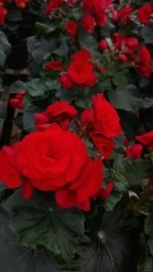 """6.5"""" Rieger Begonias"""