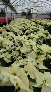 "6.5"" White Poinsettias"