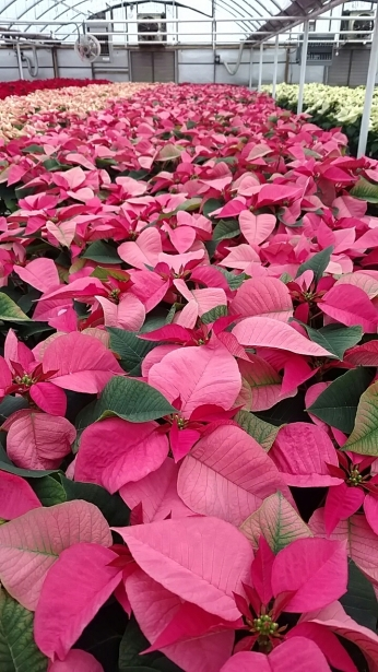 "6.5"" Pink Poinsettias"