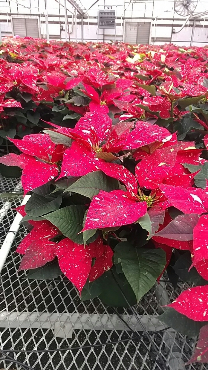 "6.5"" Red Glitter Poinsettias"