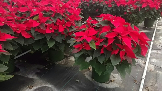 "10"" Poinsettias"