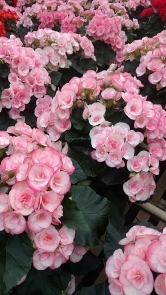 """6.5"""" Begonias"""
