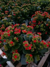 "6.5"" Red Kalanchoe"