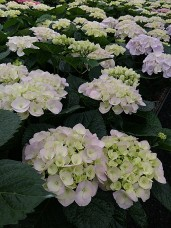 "8"" Light Blue Hydrangea"
