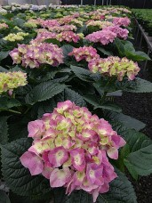 "8"" Purple Hydrangea"