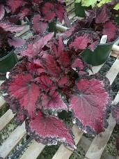 Rex Begonia 'Redmond'