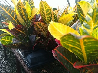 "4"" Croton"