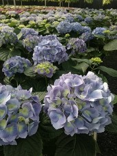 "8"" Hydrangea Blue"