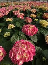 "8"" Hydrangea Pink"