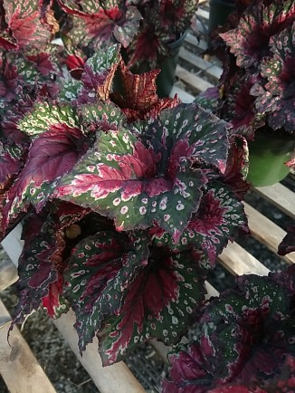 """6.5"""" Rex Begonia"""