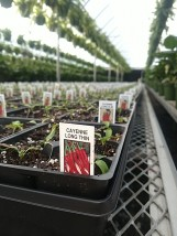The peppers are planted!