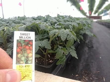 606 Tomato