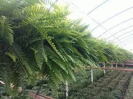 """10"""" Ferns"""