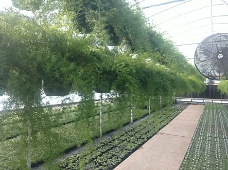 "10"" Asparagus Fern"