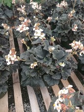 "Rex Begonia ""New Black"""