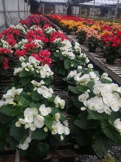 """6.5"""" Rieger Begonia"""