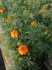 "6"" Marigold"