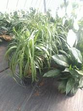 "8"" Ponytail Palm"