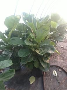 """Ficus Lyrata 8"""""""