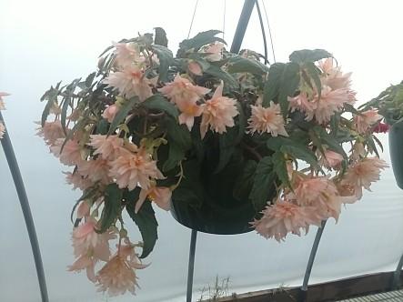 "10"" Belleconia Begonia"