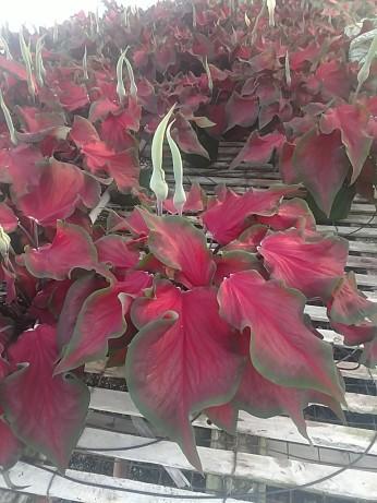 "6.5"" Red Ruffles Caladium"