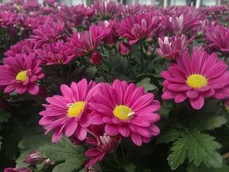 Fairbanks Florist Mum