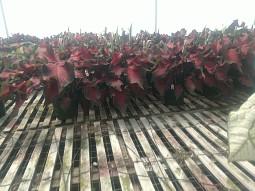 """6.5"""" Red Ruffle Caladium"""
