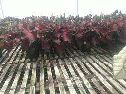 "6.5"" Red Ruffle Caladium"