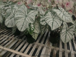 "6.5"" White Christmas Caladium"