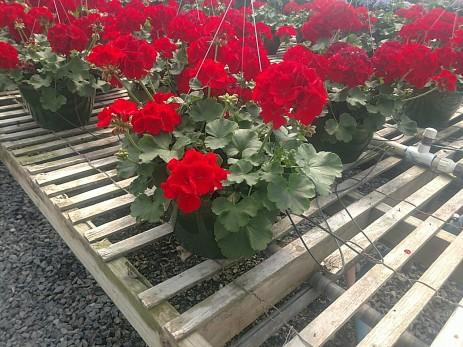 """10"""" Red Geranium HB"""