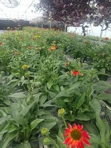 """9"""" Echinacea"""