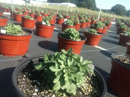"""8"""" Mums are growing!"""