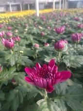 Dark Lavender Cushion (Delano) Florist Mum