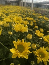 Yellow Daisy Florist Mum