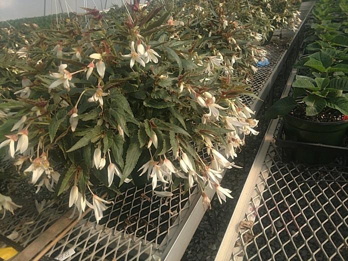 "10"" Bossa Nova Begonia H.B."
