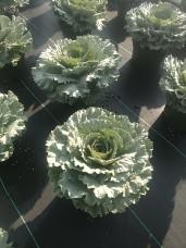 """8"""" Songbird Kale"""